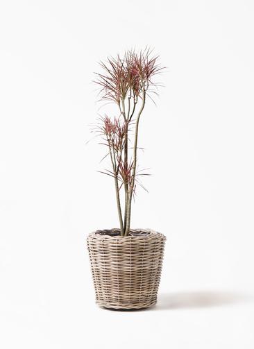 観葉植物 ドラセナ コンシンネ レインボー 8号 ストレート モンデリック ラタン 付き