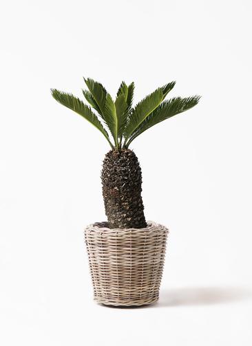 観葉植物 ソテツ 8号 モンデリック ラタン 付き