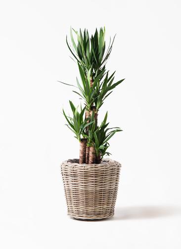 観葉植物 ユッカ 8号 ノーマル モンデリック ラタン 付き