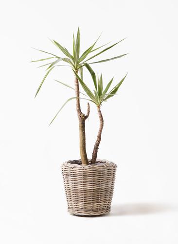 観葉植物 ユッカ 8号 斑入り モンデリック ラタン 付き