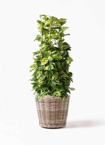 観葉植物 ポトス 8号 モンデリック ラタン 付き