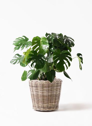 観葉植物 モンステラ 8号 ボサ造り モンデリック ラタン 付き