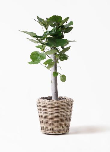 観葉植物 フィカス ウンベラータ 8号 朴 モンデリック ラタン 付き
