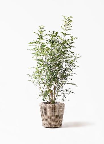 観葉植物 シマトネリコ 8号 モンデリック ラタン 付き