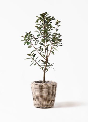 観葉植物 フランスゴムの木 8号 ノーマル モンデリック ラタン 付き