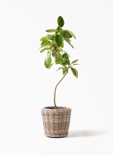 観葉植物 フィカス アルテシーマ 8号 曲り モデリック ラタン 付き