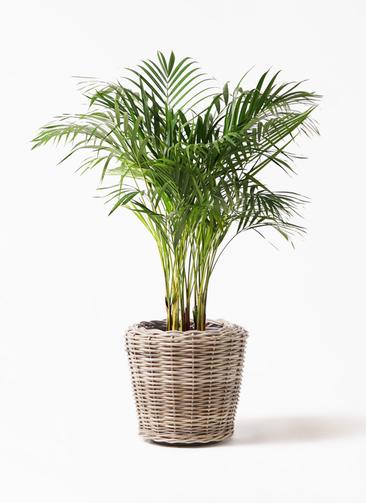 観葉植物 アレカヤシ 8号 モンデリック ラタン 付き