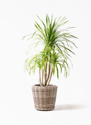 観葉植物 ドラセナ カンボジアーナ 8号 モンデリック ラタン 付き
