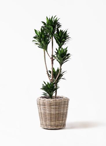 観葉植物 ドラセナ コンパクター 8号 モンデリック ラタン 付き