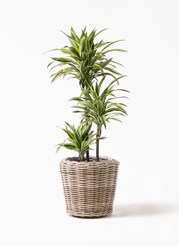 観葉植物 ドラセナ ワーネッキー レモンライム 8号 モンデリック ラタン 付き