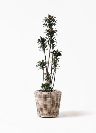 観葉植物 ドラセナ パープルコンパクタ 8号 モンデリック ラタン 付き