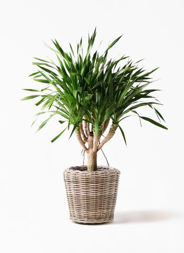 観葉植物 ドラセナ パラオ 8号 モンデリック ラタン 付き