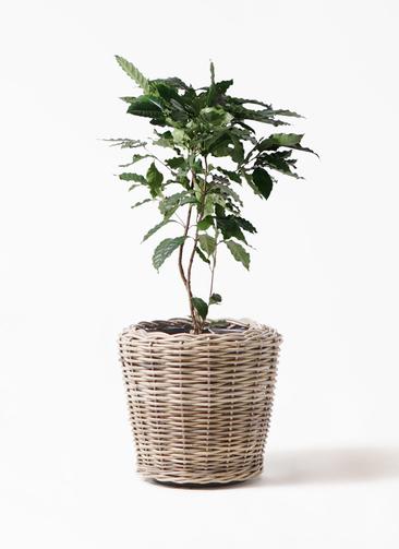 観葉植物 コーヒーの木 8号 モンデリック ラタン 付き