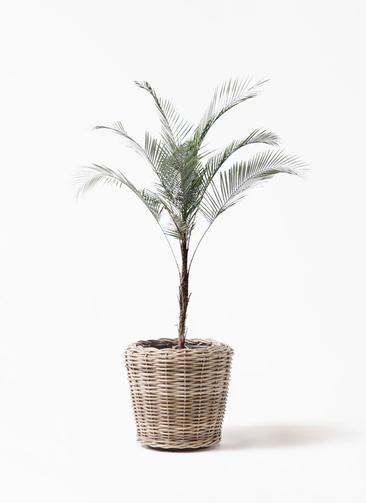 観葉植物 ヒメココス 8号 モンデリック ラタン 付き