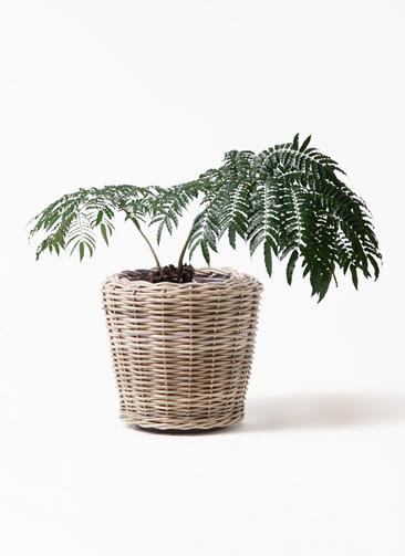 観葉植物 リュウビンタイ 8号 モンデリック ラタン 付き