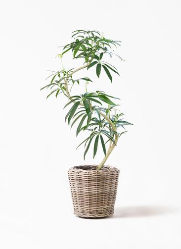 観葉植物 シェフレラ アンガスティフォリア 8号 曲り モデリック ラタン 付き