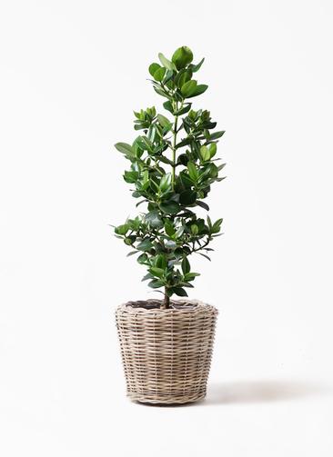 観葉植物 クルシア ロゼア プリンセス 8号 モンデリック ラタン 付き