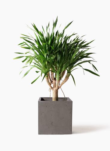 観葉植物 ドラセナ パラオ 8号 コンカー キューブ 灰 付き
