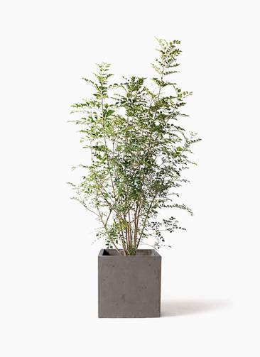 観葉植物 シマトネリコ 8号 コンカー キューブ 灰 付き