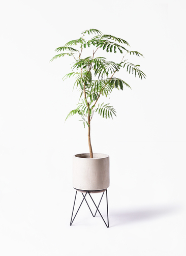 観葉植物 エバーフレッシュ 8号 ボサ造り ビトロ エンデカ 鉢カバースタンド付 クリーム 付き
