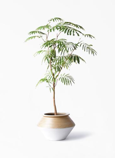 観葉植物 エバーフレッシュ 8号 ボサ造り アルマジャー 白 付き