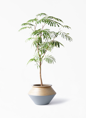 観葉植物 エバーフレッシュ 8号 ボサ造り アルマジャー グレー 付き