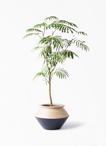 観葉植物 エバーフレッシュ 8号 ボサ造り アルマジャー 黒 付き