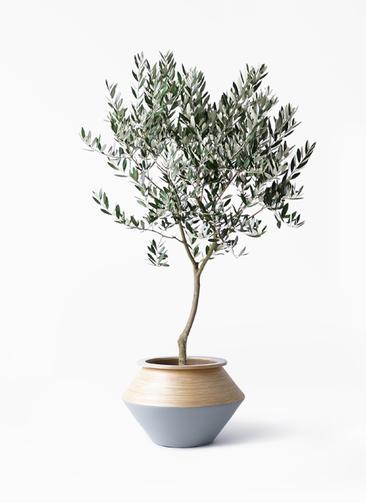 観葉植物 オリーブの木 8号 創樹 アルマジャー グレー 付き