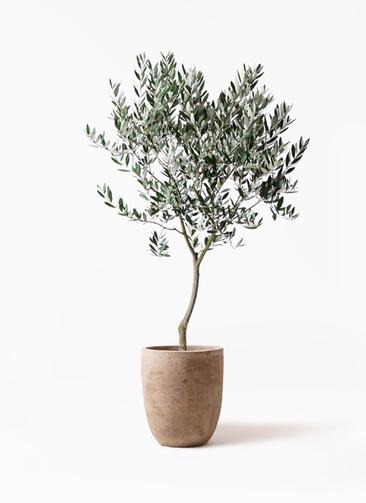 観葉植物 オリーブの木 8号 創樹 ルーガ アンティコ アルトエッグ 付き