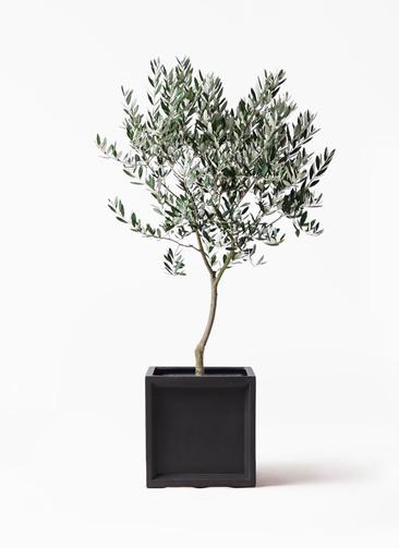 観葉植物 オリーブの木 8号 創樹 ブリティッシュキューブ 付き