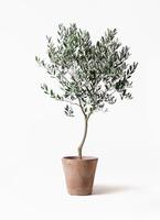 観葉植物 オリーブの木 8号 創樹 ルーガ アンティコ ソリッド 付き