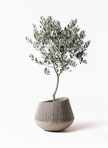 観葉植物 オリーブの木 8号 創樹 エディラウンド グレイ 付き