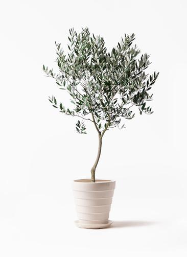 観葉植物 オリーブの木 8号 創樹 サバトリア 白 付き