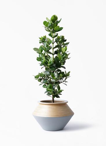 観葉植物 クルシア ロゼア プリンセス 8号 アルマジャー グレー 付き