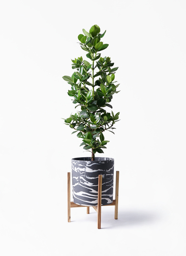観葉植物 クルシア ロゼア プリンセス 8号 ホルスト シリンダー マーブル ウッドポットスタンド付き