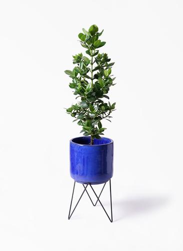 観葉植物 クルシア ロゼア プリンセス 8号 ビトロ エンデカ 鉢カバースタンド付 ブルー 付き