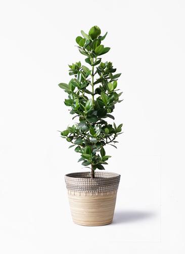 観葉植物 クルシア ロゼア プリンセス 8号 アルマ コニック 白 付き