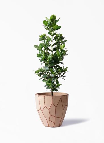 観葉植物 クルシア ロゼア プリンセス 8号 ウィスク 付き