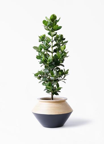 観葉植物 クルシア ロゼア プリンセス 8号 アルマジャー 黒 付き