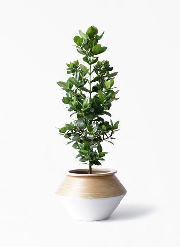 観葉植物 クルシア ロゼア プリンセス 8号 アルマジャー 白 付き