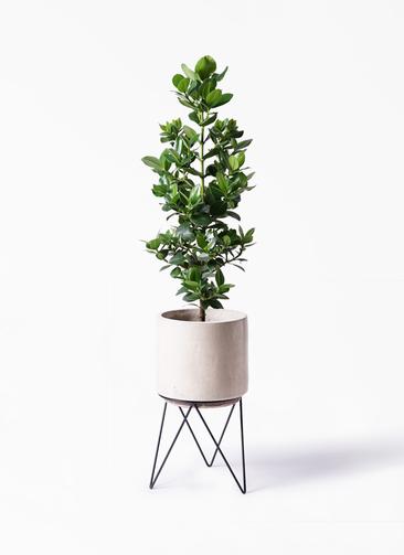 観葉植物 クルシア ロゼア プリンセス 8号 ビトロ エンデカ 鉢カバースタンド付 クリーム 付き
