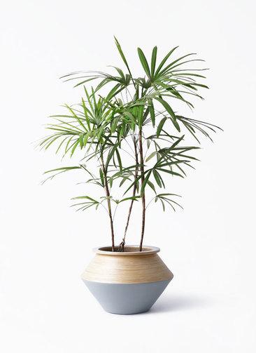 観葉植物 シュロチク(棕櫚竹) 8号 アルマジャー グレー 付き