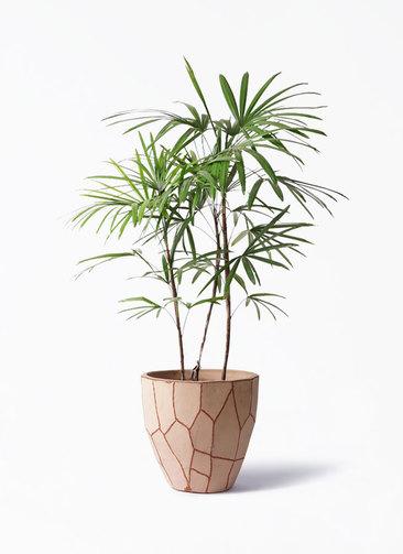 観葉植物 シュロチク(棕櫚竹) 8号 ウィスク 付き