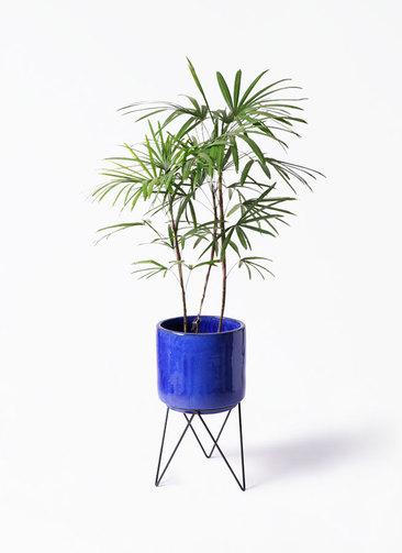 観葉植物 シュロチク(棕櫚竹) 8号 ビトロ エンデカ 鉢カバースタンド付 ブルー 付き