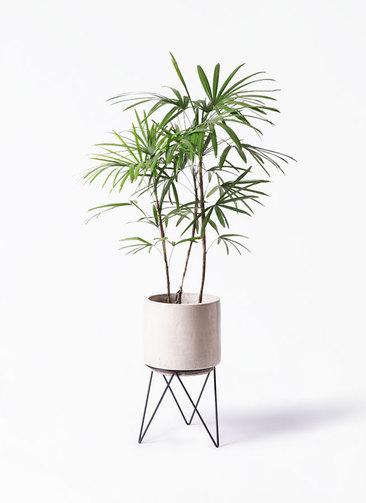 観葉植物 シュロチク(棕櫚竹) 8号 ビトロ エンデカ 鉢カバースタンド付 クリーム 付き