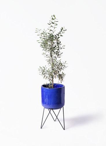 観葉植物 オリーブの木 8号 チプレッシーノ ビトロ エンデカ 鉢カバースタンド付 ブルー 付きチプレッシーノ