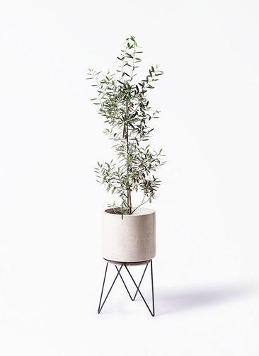 観葉植物 オリーブの木 8号 チプレッシーノ ビトロ エンデカ 鉢カバースタンド付 クリーム 付き