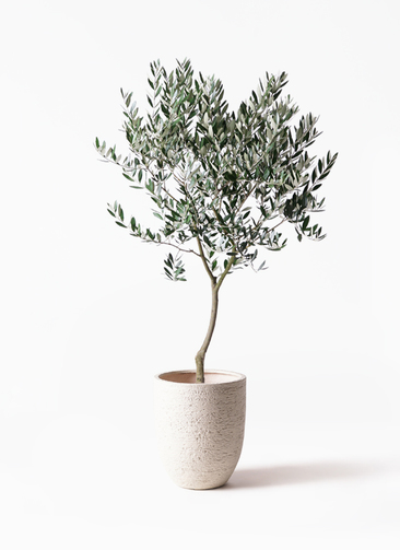 観葉植物 オリーブの木 8号 創樹 ビアスアルトエッグ 白 付き