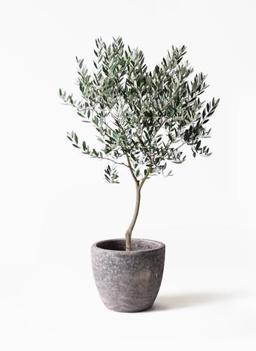 観葉植物 オリーブの木 8号 創樹 アビスソニアミドル 灰 付き