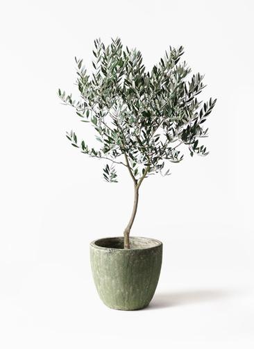 観葉植物 オリーブの木 8号 創樹 アビスソニアミドル 緑 付き